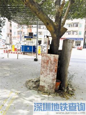 """深圳光明新区这个""""厕所""""建得好奇葩!三块板围住一棵树"""