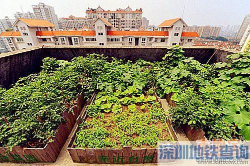 深圳天台菜园好不好?天台种菜违法吗?