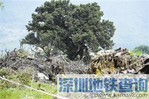 深圳乱砍滥伐树木怎么处罚?砍18棵大树才罚5400?太轻!