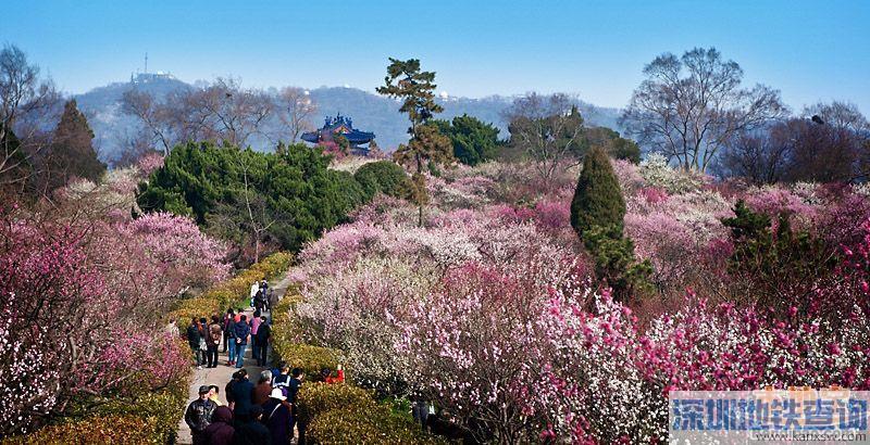 2017南京国际梅花节什么时间举行?公交、地铁、自驾赏梅怎么去?