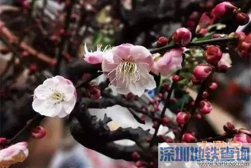 深圳3月赏花有哪些好去处?赏花地点交通攻略(公交+地铁)